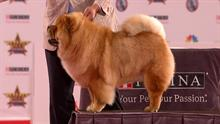 Beverly Hills Dog Show-Chow Chow 2018 Non-Sporting Group