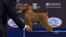 National Dog Show Brussels Griffon >> National Dog Show Brussels Griffon 2017 Toy Group Nbc Sports