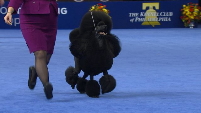 Poodle Standard 2018 National Dog Show Non Sporting