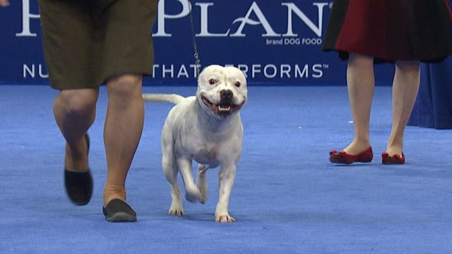 Staffordshire Bull Terrier 2018 National Dog Show Terrier Group Nbc Sports