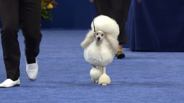 Poodle Miniature 2019 National Dog Show Non Sporting