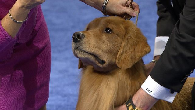 Purina National Dog Show 2020.Golden Retriever 2019 National Dog Show Sporting Group